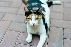 Gatto. (Polvere d'Argento) Tags: old cats film cat 35mm vintage photography kodak iso felino 100 analogue fotografia miao gatto gatti federico analogica micio gattino brunetti ektar analogico rullino micino federicobrunetti