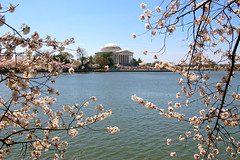 Cherry Blossoms on the Tidal Basin (AngelBeil) Tags: trees monument festival mall cherry dc washington memorial day metro blossom basin clear national jefferson tidal