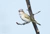 _53F2244 Red-eyed Vireo (~ Michaela Sagatova ~) Tags: dundas redeyedvireo vireoolivaceus birdphotography vocalizing dvca michaelasagatova spring2014