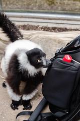 Black-And-White Ruffed Lemur (Mathias Appel) Tags: white black animal germany deutschland zoo eyes lemur augen tierpark madagascar schwarz tier weiser vari ruffed madagaskar lemuren