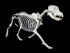Squelette / Skeleton American Staffordshire Terrier (Canis familiaris) (JC-Osteo) Tags: dog chien skeleton skull bull pitbull bones bone bully amstaff crne canis americanstaffordshireterrier carnivora squelette canisfamiliaris canidae americanstaffordshire osteology ostologie jctheil