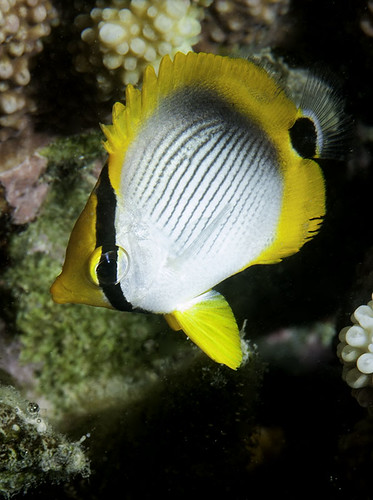 Black-backed Butterflyfish, juvenile - Chaetodon melannotus