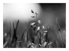 Fragile (Vintage lens lover) Tags: gras bw bokeh schärfentiefe sw monochrom natur outdoor wiese olympus omd em1 makrofotografie macro zuiko60mm28 hmbt monochromebokehthursday