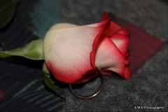 Protected Promises (PhotoJester40) Tags: ring flower rose valentinerose indoors inside beautiful weddingring creative promises amdphotographer