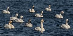 11 Swans a-swimming (rdroniuk) Tags: birds waterfowl waterbirds swans whistlingswan tundraswan tundraswanmigration oiseaux oiseauxdeau cygne cygnuscolumbianus cygnedebewick