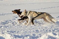...ivriga att dra  / ...eager to race (srchedlund) Tags: luleå vinterbilder luleonice luleåonice skating dogsledding walking junioricehockey snow ice sunshine slide srchedlund draghundar