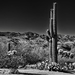 A Desert Landscape with Saguaro Cactus, Mountains and Blue Skies Above (Black & White, Saguaro National Park) thumbnail