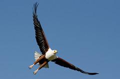 African Fish Eagle - Haliaeetus vocifer (lyn.f) Tags: africanfisheagle haliaeetusvocifer chobenationalpark botswana