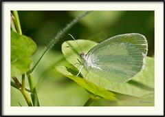 Eurema daira - Barred yellow (J. Amorin) Tags: mariposasypolillas euremadaira barredyellow mariposasdemexico mariposasdetabasco amorin macro canon10028macro canon7d mariposa butterfly macuspana