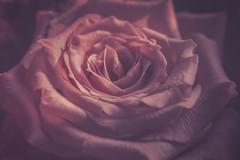 Still-2500-2 (EbE_inspiration) Tags: flower pink rose nikon nikkor