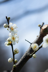 IMG_0641crs (kenta_sawada6469) Tags: flower flowers spring tree trees nature macro japan japanese japaneseapricot ume white