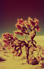 Infrared Joshua Tree I (carlfieler) Tags: aerochrome infrared analog 35mmfilm joshuatree desert california landscape nature canona1 28mmlens
