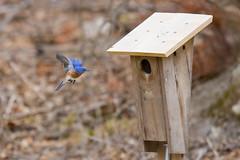 Eastern bluebird (EJK0814) Tags: maryland bluebird bird home flying box