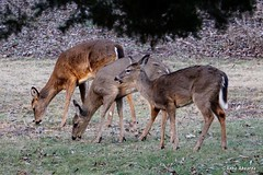 White-tailed Deer Family (Anne Ahearne) Tags: whitetailed deer nature wildlife animal animals doe pennsylvania