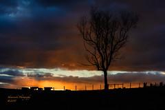 Sunrise on the Farm (Peter Skowronski) Tags: fineart rappahannockcovacow farm landscape va sunrise
