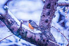 american robin perched on blooming peach tree in spring snow (DigiDreamGrafix.com) Tags: americanrobin bird peach snow northamerica perched wildlife animal winter spring tree bloom blossom farm wintery winterwonderand storm snowstorm