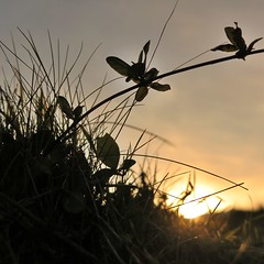 Chaud au coeur (nathaliedunaigre) Tags: coucherdesoleil sunset campagne country herbes grass plantes plants silhouettes carré square