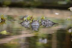 heads above water - male common frogs (Rana temporaria) 1 of 2 images (willjatkins) Tags: frog frogs commonfrog rana ranatemporaria springwildlife ukamphibians ukfrogs britishwildlife britishamphibians britishfrogs gardenwildlife gardenponds frogsspawning nikond7100 hertfordshirewildlife hertfordshireamphibians