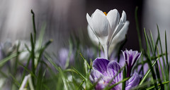 Light i need more light (zilverbat.) Tags: denhaag zilverbat lights nature flowers bloemen flower natuur natuurlijklicht availablelight thehague visit canon bokeh dutch dof dutchholland lente spring krocussen crocus voorhout centrum steel knop lentekriebels