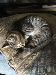 Baby Lion (Alma Dzib-Goodin) Tags: nature cat babycat