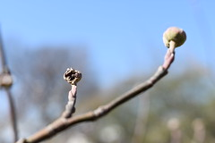 Strange Pods (Emily Handy) Tags: tree trees treepod pod pods treepods spring springtime blossom blooming crosssection