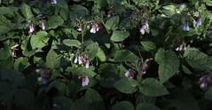 Symphytum grandiflorum (Creeping Comfrey) (Hugh Knott) Tags: symphytumgrandiflorum creepingcomfrey flora anglesey wales boraginaceae symphytum