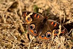 Common Buckeye Butteerfly - 2017 (deanrr) Tags: commonbuckeyebutterfly morgancountyalabama alabama nature butterfly spring 2017 outdoor