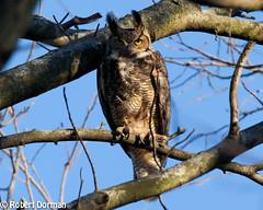 Great Horned Owl (tavarez.niurka) Tags: great horned owl buho gufo chouette eule coruja bubo virginianus lechuza