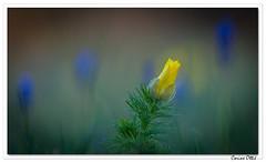 Adonis de printemps (Adonis vernalis) (C. OTTIE et J-Y KERMORVANT) Tags: nature fleurs fleurssauvages adonisvernalis adonisdeprintemps france