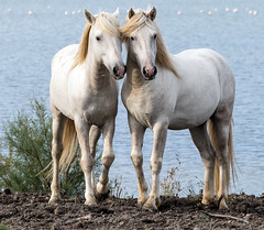 2016 Best Two Camargue Stallions (12) (maskirovka77) Tags: saintlaurentdaigouze languedocroussillonmidipyrén france languedocroussillonmidipyrénées fr stallion stallions createaway