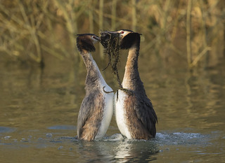 Great crested Grebes doing the weed dance