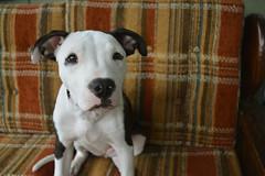 (ryountphotography) Tags: animals dogs pitbulls apbt puppies blackandwhitedogs animalportraits