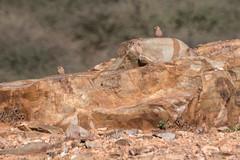 Pintarroxo-trombeteiro   Bucanetes githagineus   Trumpeter Finch (El1saB) Tags: bucanetesgithagineus fringillidae goulemineplains marrocos meljb morocco pintarroxotrombeteiro planíciesdegoulemine trumpeterfinch aves birds
