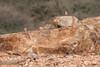 Pintarroxo-trombeteiro | Bucanetes githagineus | Trumpeter Finch (Elisa Brás) Tags: bucanetesgithagineus fringillidae goulemineplains marrocos meljb morocco pintarroxotrombeteiro planíciesdegoulemine trumpeterfinch aves birds