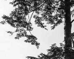 Westonbirt Arboretum (Simon Clare Photography) Tags: westonbirt arboretum westonbirtarboretum nikon d7200 nature trees tree spring colour clare colourful digital british britain beauty day explore england english europe european englishness fotografi fotografia fotografija fotografování ffotograffiaeth fotograafia fotografering fotografie gb greatbritain great kingdom landscape photography plants uk unitedkingdom wild bw blackandwhite black blackwhite mono monochrome m