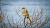Masked honeyeater (Lanceflot) Tags: bird birding birdwatching honeyeater singing masked australia head bight south wildlife feather yellow looking