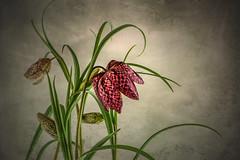 Schachbrettblume (Foto-Monika) Tags: digiart digitale gemälde filtertechniken natur makro schachbrettblume monikaarnold