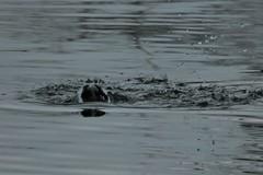 Diving (caboose_rodeo) Tags: 614 redbreastedmerganser divingduck waterfowl longislandsound rowaytonct norwalkct waterdroplets