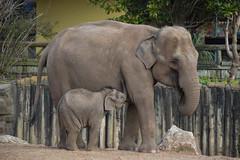 Asian Elephants (Seventh Heaven Photography) Tags: asian elephants animals aayu sithami hi way baby male nikond3200 calf wildlife chester zoo cheshire england elephant