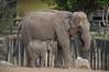 Asian Elephants (Elephas maximus) (Seventh Heaven Photography) Tags: asian elephants animals indali sundara hi way baby female nikond3200 calf wildlife chester zoo cheshire england elephant elephas maximus elephasmaximus asiatic elephantidae
