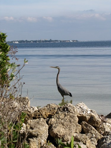 Great Blue Heron on Tampa Bay