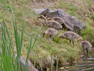 Gosling Family Outing
