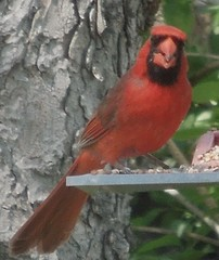 Male Cardinal (bjebie) Tags: red bird cardinal wildbird