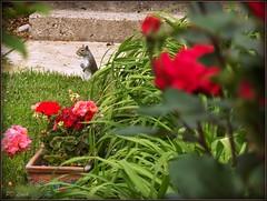 garden peek-a-boo (MissyPenny) Tags: flowers garden spring squirrel geraniums bristolpennsylvania pdlaich missypenny