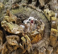 kestrel chicks in nest (hawk person) Tags: nest americankestre