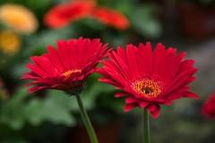 Red Gerbera Daisy (hoeadrian) Tags: plant flower daisies canon gerbera daisy 5dmk3