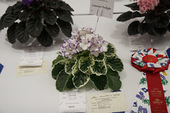 Lonestar Twilight (khufram) Tags: austin convention africanviolet 2013 avsa africanvioletsociety lonestartwilight