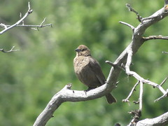 Brown-headed Cowbird, Umtanum Creek, 6/12/13 (LJHankandKaren) Tags: cowbird brownheadedcowbird femalebrownheadedcowbird umtanumcreek