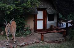 DPP_0075 (tim.z) Tags: kenya wildlife safari eland masaimara saruni