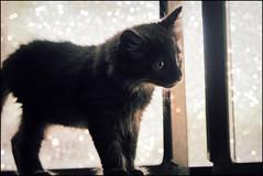 (K. Sawyer Photography) Tags: black window kitten foster tiny a1671661
